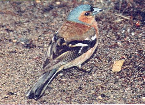 Видовое название этой птички (рис. 7) с латинского переводится как.